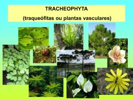 Tracheophyta (traqueófitas ou plantas vasculares)