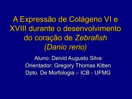A Expressão de Colágeno VI e XVIII durante o desenvolvimento do