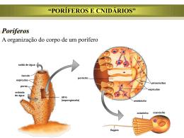 poríferas e cnidarios