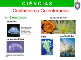 água-viva caravela (colônia)