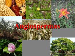 """Angiospermas """"semente na urna"""""""