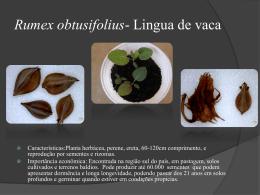 Rumex-obtusifolius-Lingua-de-vaca