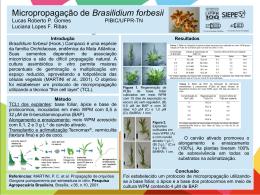 Micropropagação de Brasilidium forbesii Lucas Roberto P