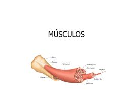 MÚSCULOS - OoCities