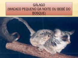 BrunaC_Galago