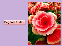 Begonia (210520)